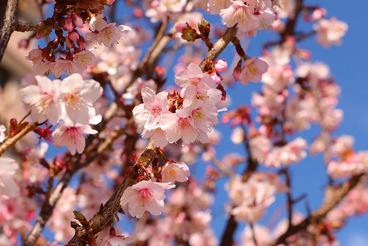 あたみ桜とは