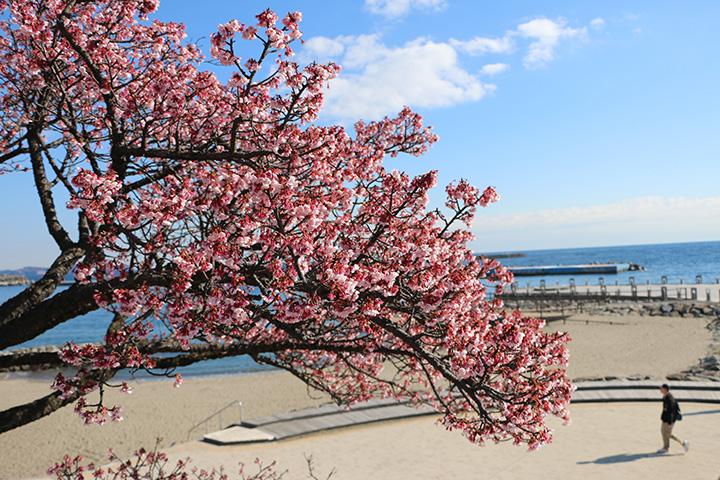 あたみ桜の開花時期