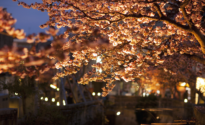 早咲きのあたみ桜を楽しむ!熱海の桜の開花時期、名所を紹介