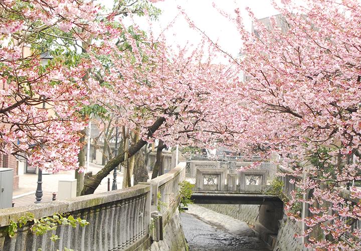 糸川のあたみ桜