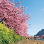 伊東・伊豆周辺で楽しむ桜と春の花々 開花時期や名所をご紹介
