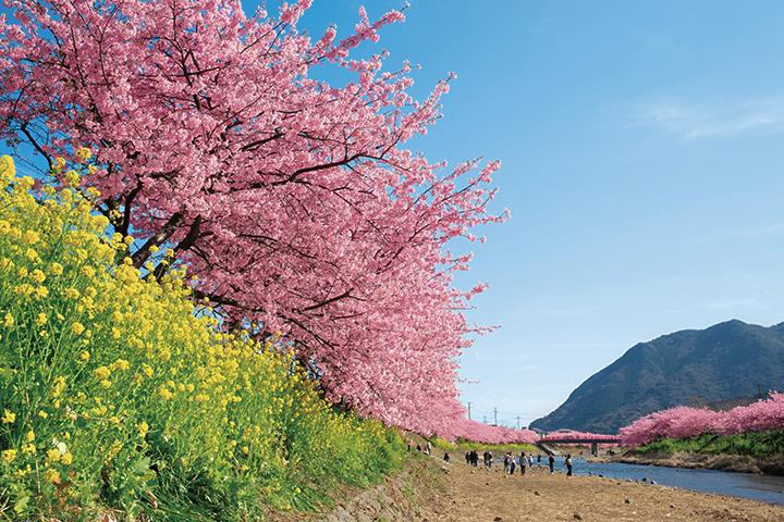 【2019年版】伊豆周辺で楽しむ河津桜と春の花々、伊東の桜など、開花時期や名所をご紹介