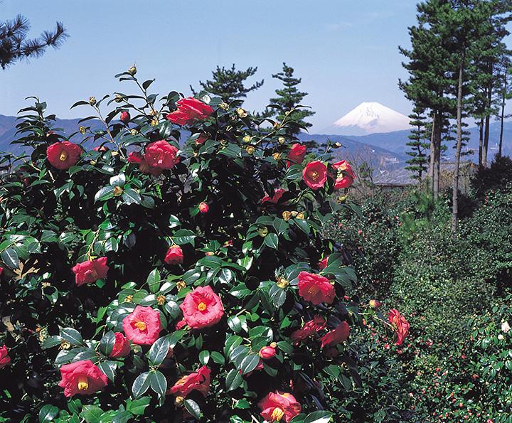小室山公園つばき園