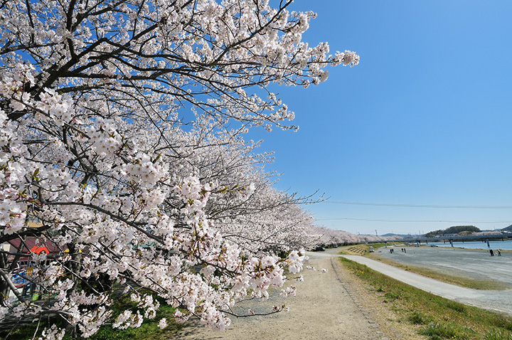都田川桜堤