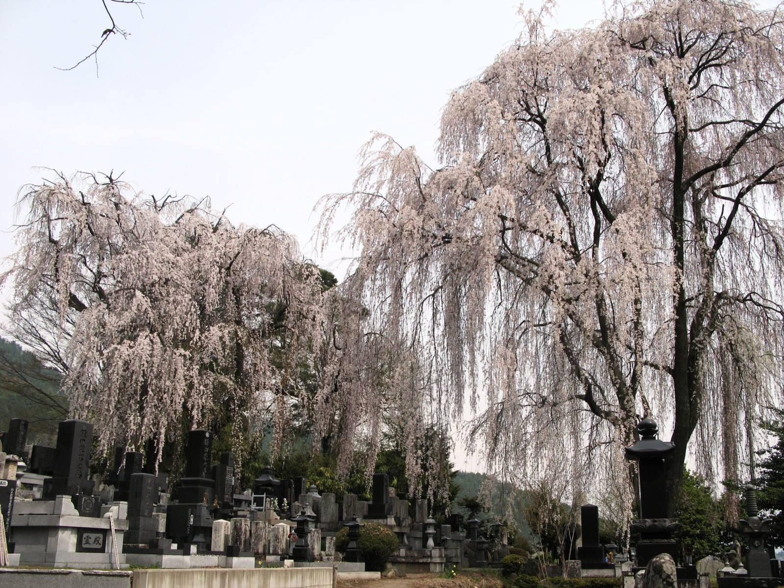 田多井枝垂桜