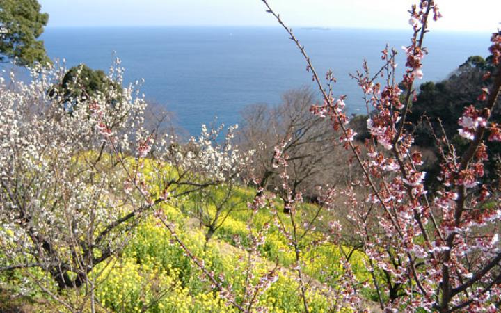 二つの春の花が共演する「あたみ桜と菜の花園」