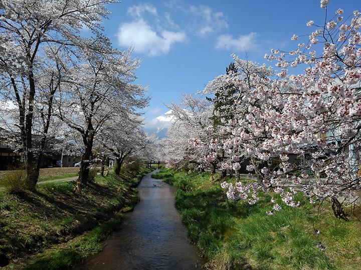 新名庄川(しんなしょうがわ)沿いの桜