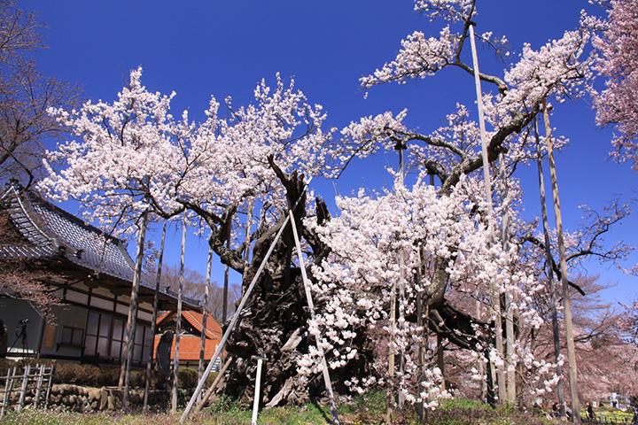 山高神代桜(やまたかじんだいさくら)