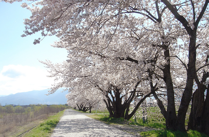 岩岡神社の桜