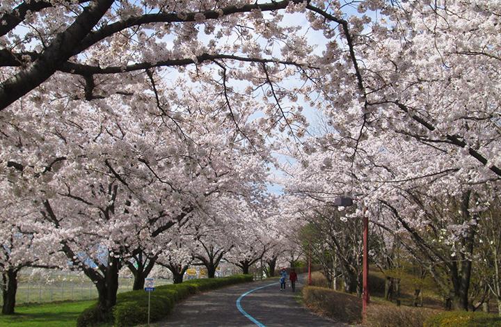 信州スカイパークの桜並木