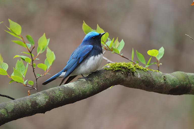 軽井沢野鳥の森ピッキオ オオルリ