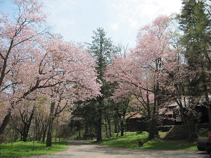 旭川市公園の桜