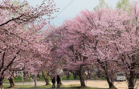 【2021年版】北海道の桜は5月まで楽しめる!お花見の名所6選