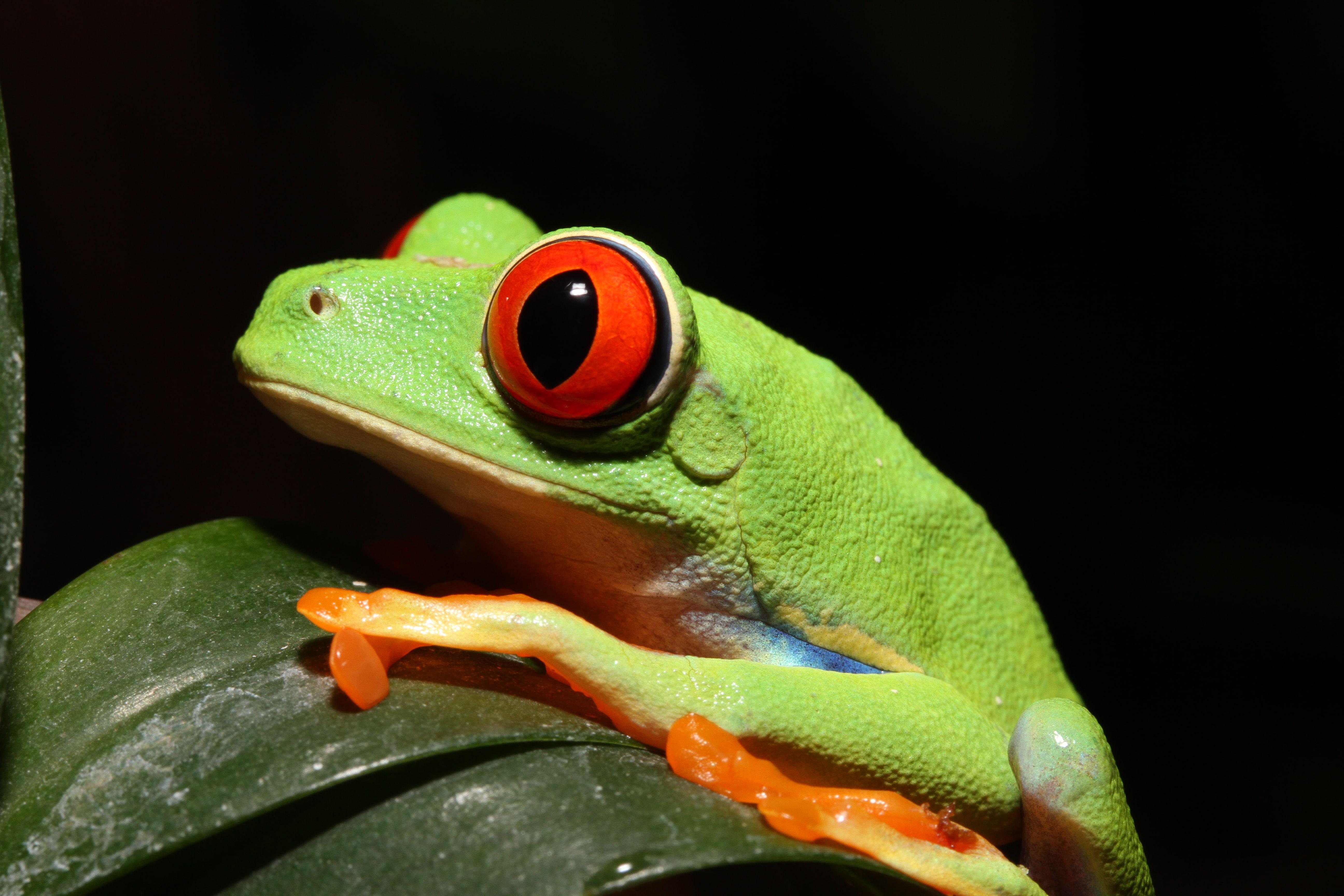 赤い目が特徴的なアカメアマガエル
