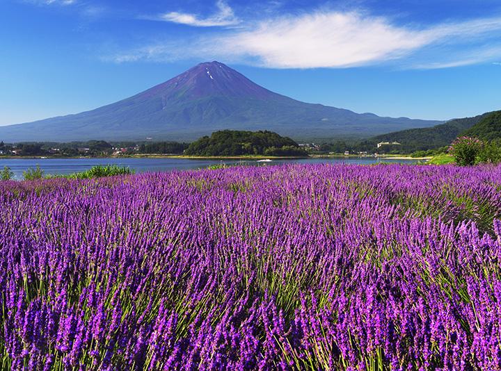 富士山とラベンダーの絶景。