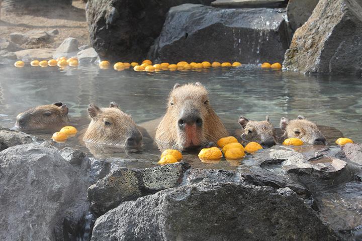 11~4月まで開催する名物、カピバラ露天風呂。