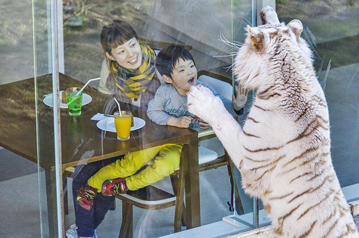 ガラス窓の向こうに、ライオンやホワイトタイガーが!