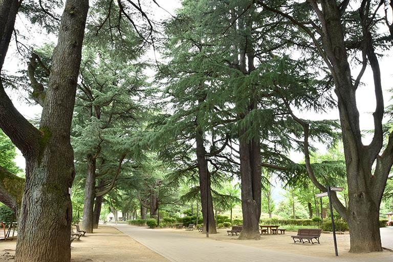 あがたの森公園 杉並木