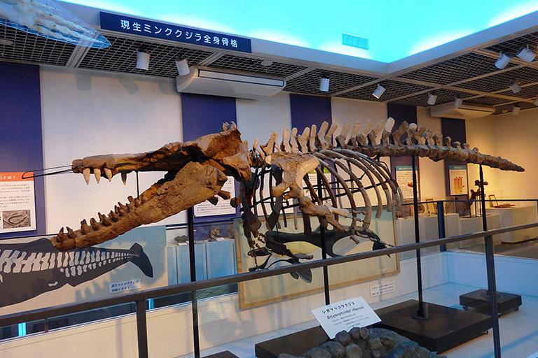 四賀化石館 マッコウクジラ