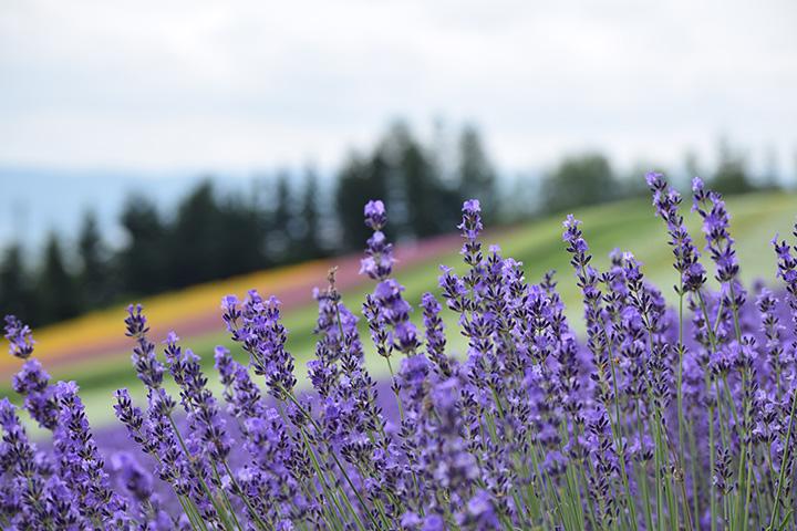 「彩りの畑」のラベンダー
