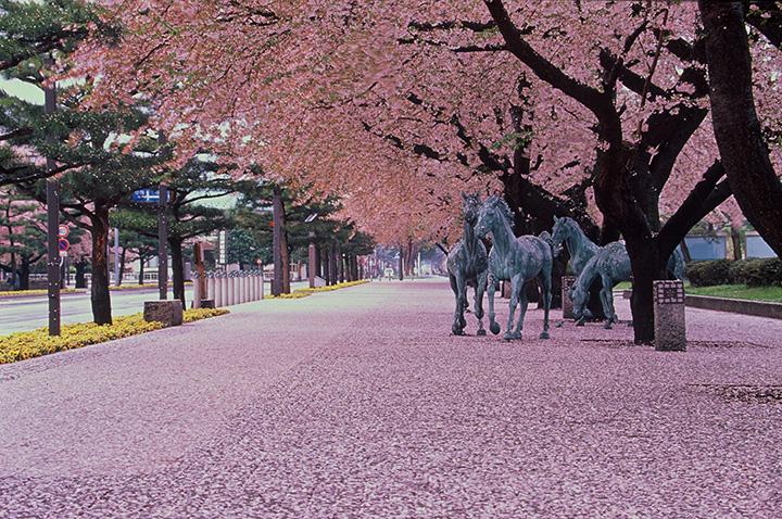 官庁街通りの桜並木