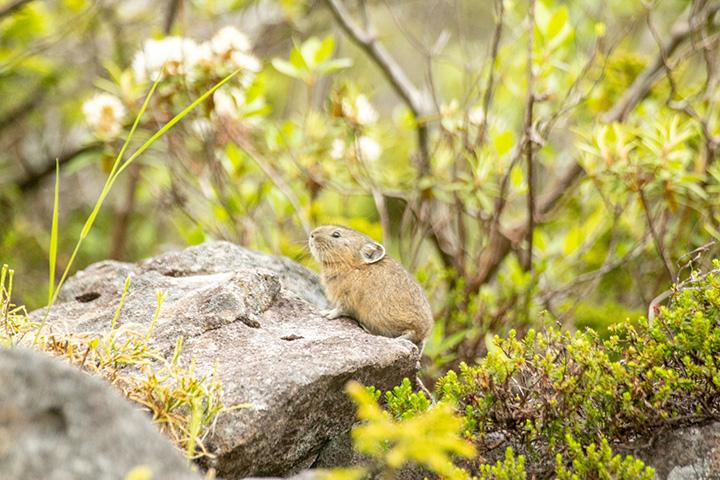 準絶滅危惧種に指定されている「エゾナキウサギ」