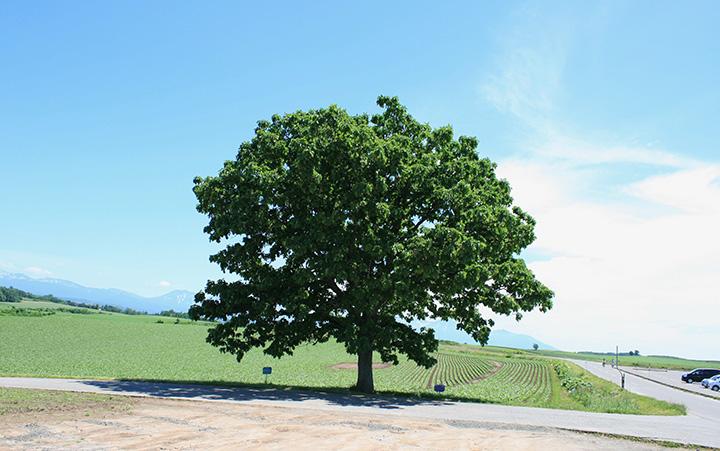 広大な畑の中でひときわ目を引く1本の木
