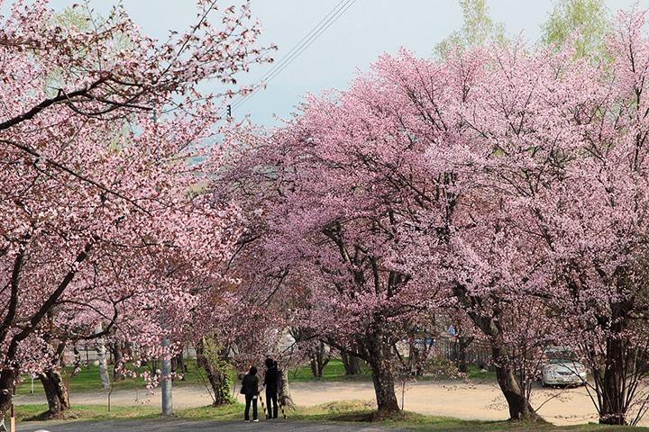 旭山公園の桜(約3500本のエゾヤマザクラ)