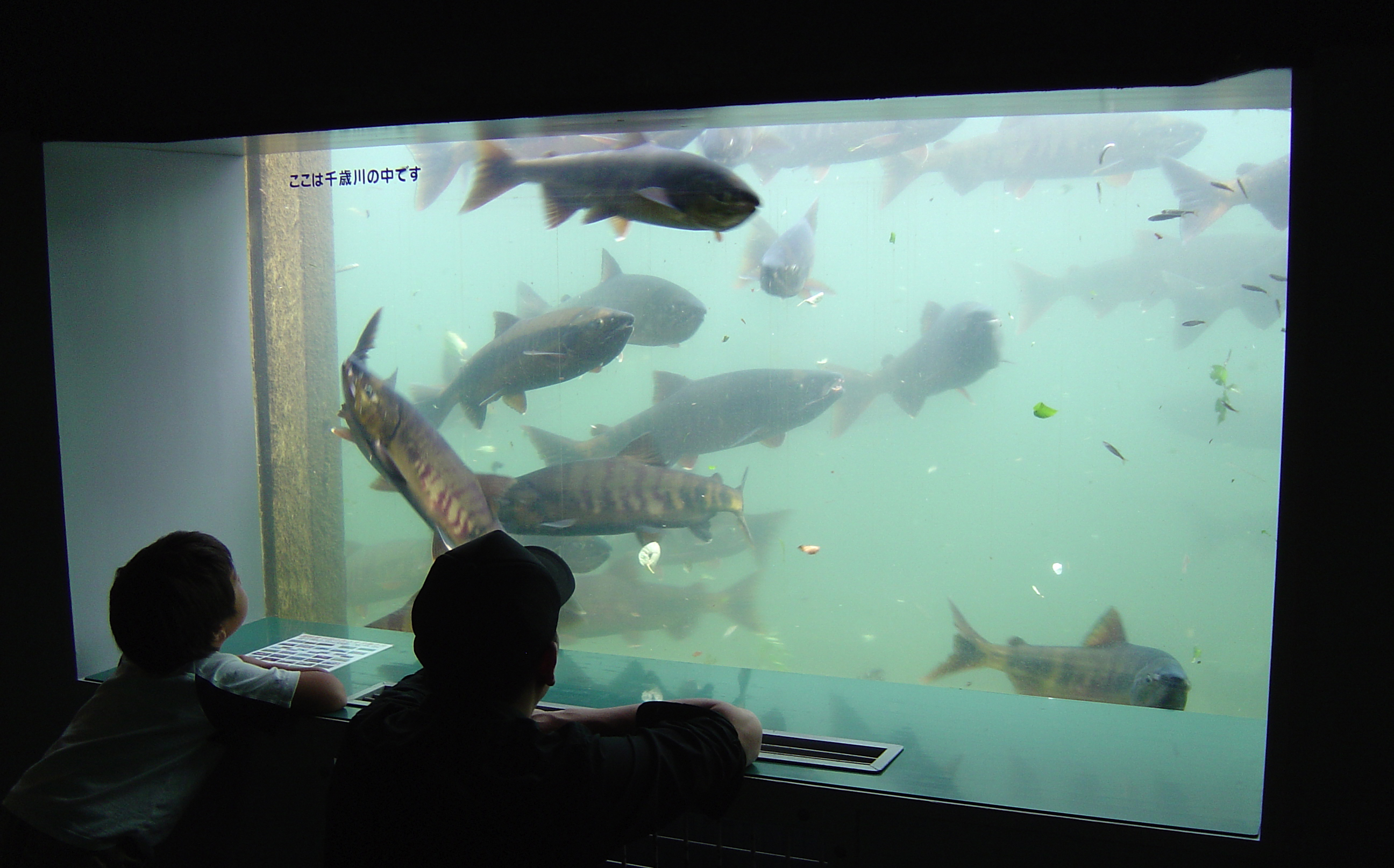 縦1m×横2mの窓から千歳川の中が観察できる