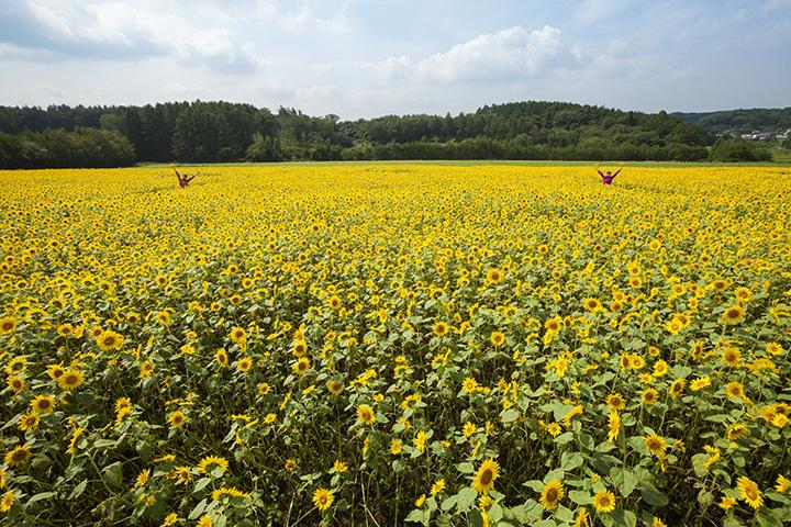 校舎裏に咲く約200万本のヒマワリ。摘み取り体験もできます