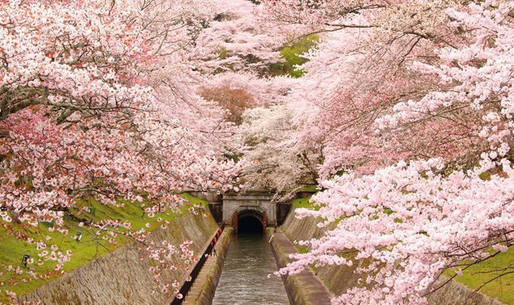 琵琶湖疎水の桜並木(写真:びわ湖大津観光協会)