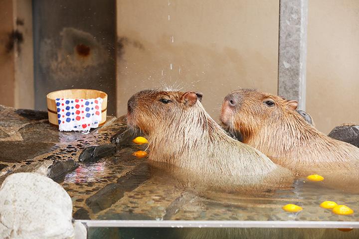 ゆず湯に浸かり、気持ちよさそうにお湯に打たれるカピバラ