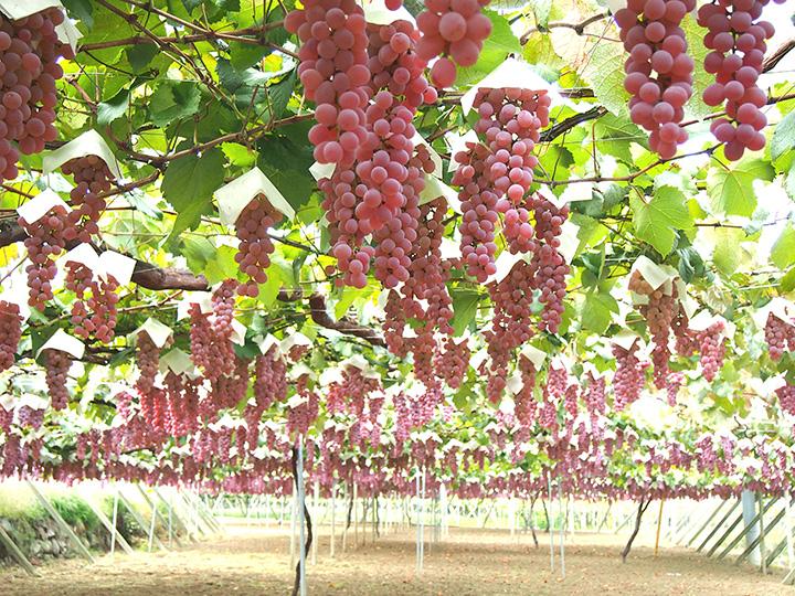 主に「甲州」を栽培。ブドウにストレスを与えないよう、ゆっくりと搾り風味豊かなワインに