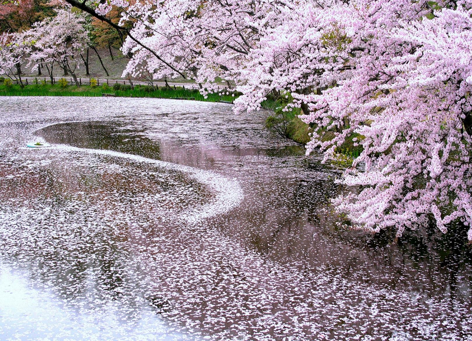 遊歩道も整備。園内では4月は桜、5月にはバラが見頃に