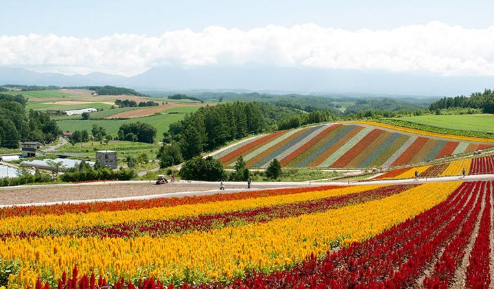 ストライプに色分けされた花畑と丘陵の風景