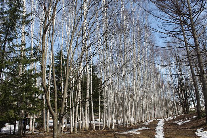 一周250mの回廊になっている白樺の並木道