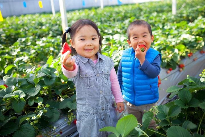 イチゴは高設栽培で、大人も子どもも摘み取りやすい高さ