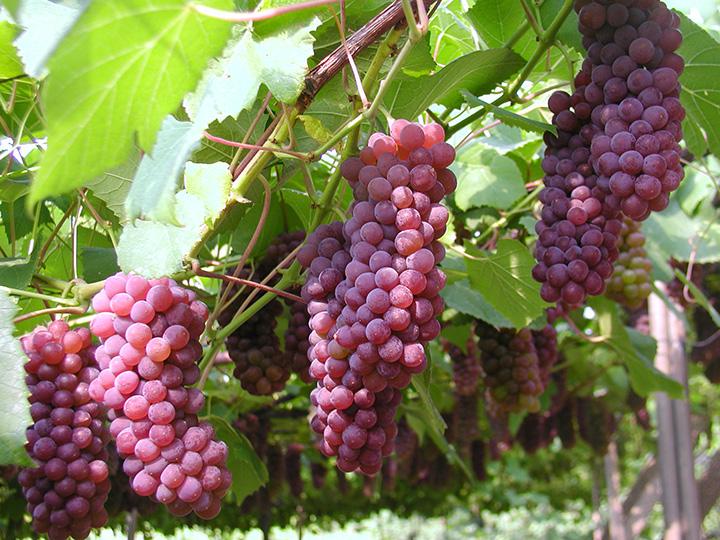 イチゴ、ブルーベリー、ブドウ狩りは全天候型で雨の日も収穫可能
