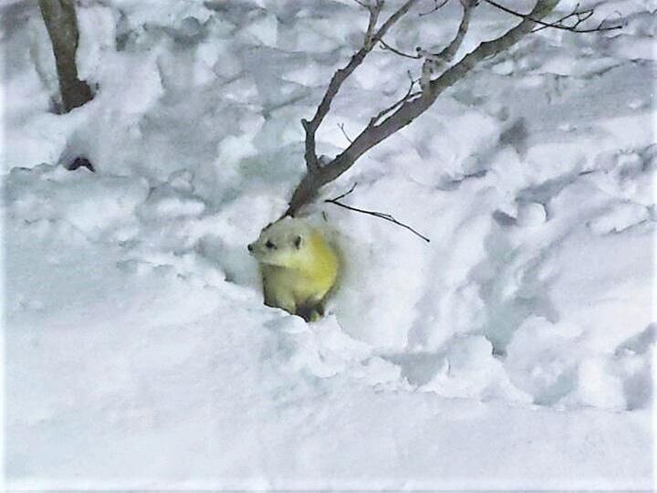 真っ白な雪の中に佇む野生のテン