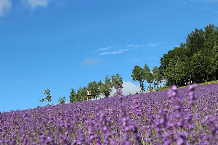 初夏にはラベンダーが満開に。辺り一面が紫色に染まる風景はなんともロマンチック