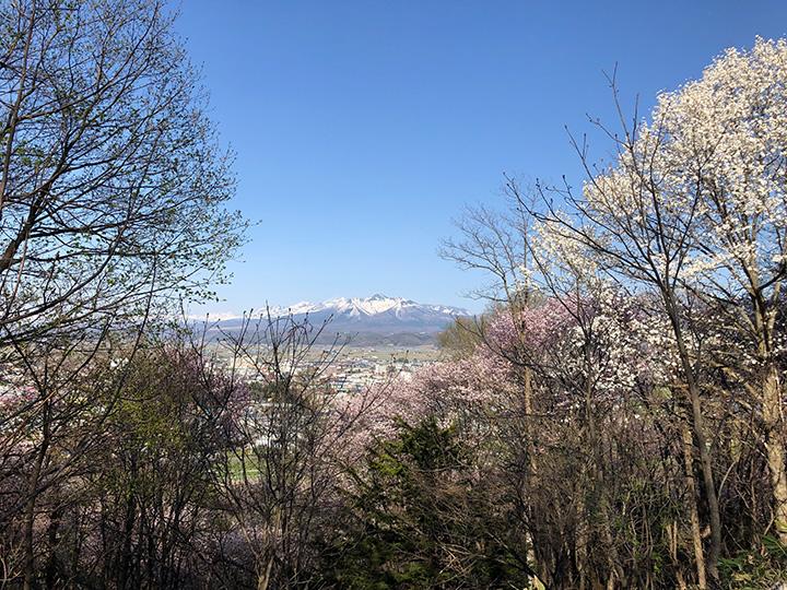 地元では桜の名所としても人気。木立の向こうには雄大な十勝岳連邦が広がる