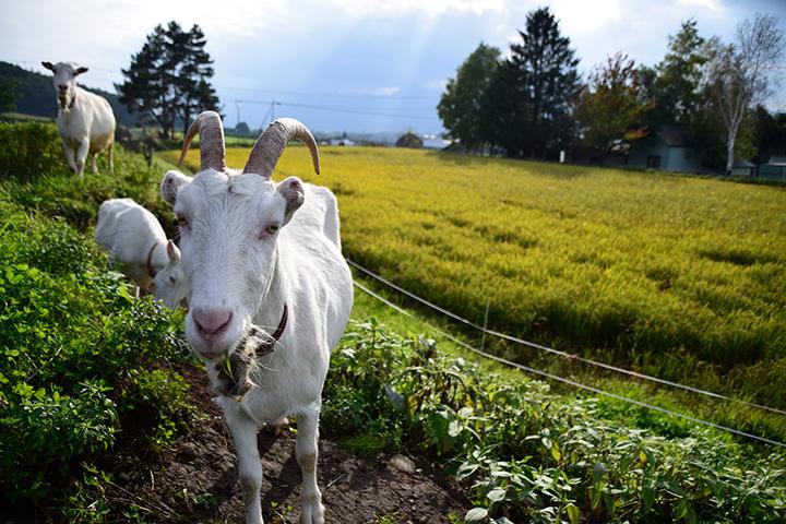 富良野岳を望む農場は総面積10,000㎡。ヤギと一緒に散歩を楽しむ体験メニューもあり