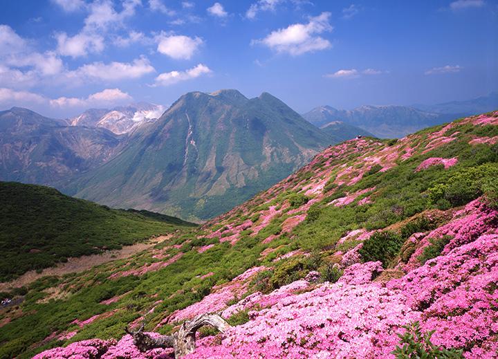 山肌をピンクに染めるミヤマキリシマ