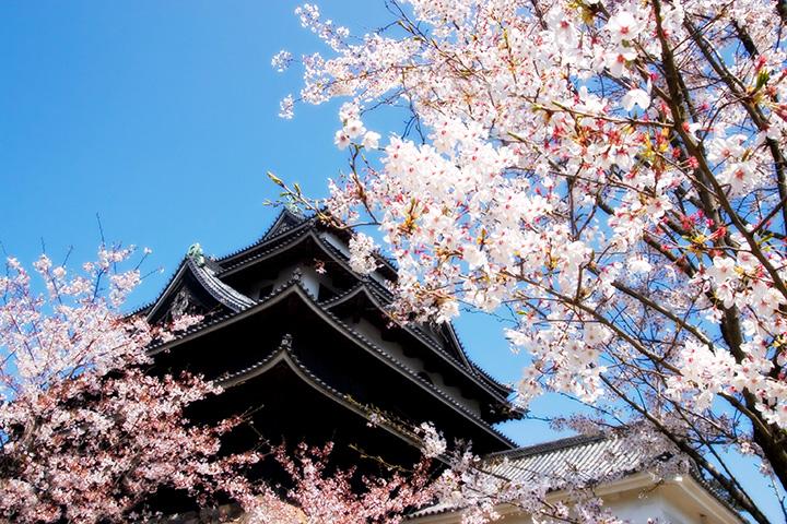 松江城の桜(提供:松江観光協会)