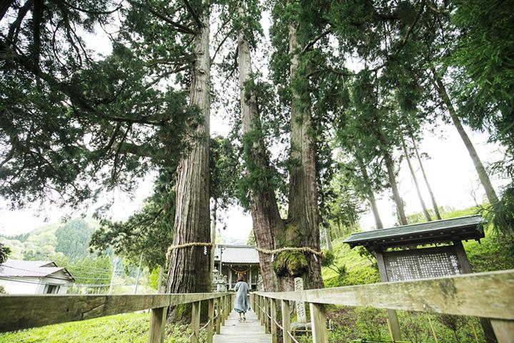 幹が二又に分かれ、天高く枝葉を広げる「栢野大杉」