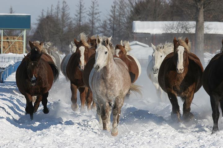 出産を控えた妊娠馬は1tを超え、間近で見ると圧倒されるほどの大きさ