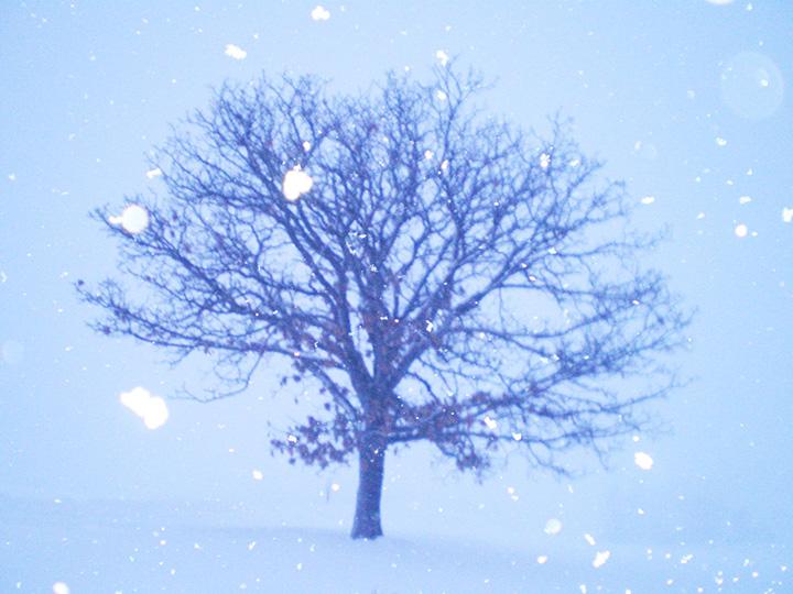 セブンスターの木。寒さに耐えながらじっと春を待つ姿が胸を打つ(写真提供は全て美瑛町観光協会)