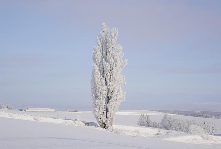 ケンとメリーの木。凍てつく寒さの日、運が良ければ霧氷に覆われた真っ白な姿が見られるかも