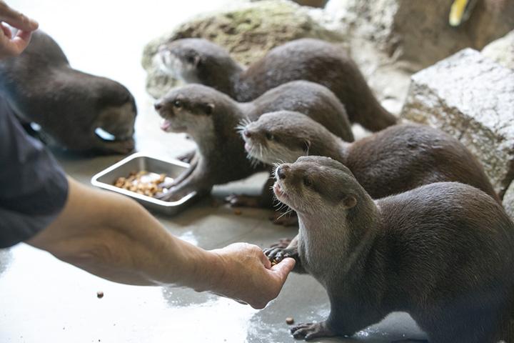 お行儀よく餌を食べるコツメカワウソがかわいい