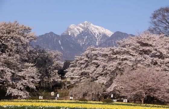 八ヶ岳・清里・小淵沢エリアでおすすめの桜の名所6選